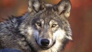 Wolf cull announced by BC government